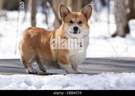perro corgi galés pembroke en invierno en la nieve, foto de invierno corgi galés