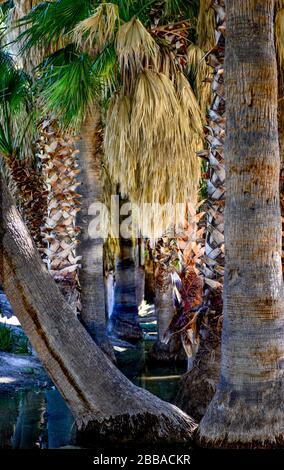 Primer plano de serpenteantes troncos de palmeras en un oasis alrededor del agua de manantial con faldas de palmeras y otros troncos afeitados para una experiencia textural