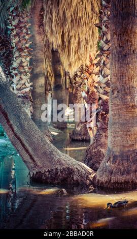 Troncos de palmeras serpenteantes en un oasis alrededor del agua de manantial con faldas de palmeras y otros troncos afeitados con un pato solitario en primer plano, Estados Unidos