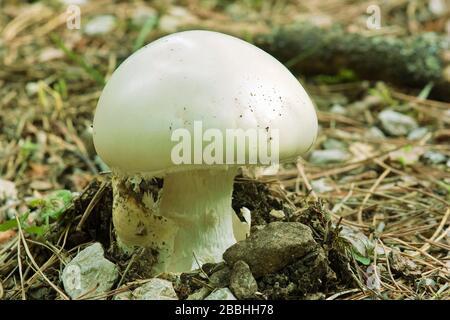 espécimen joven de huevo blanco europeo, agaricus campestris, agaricaceae
