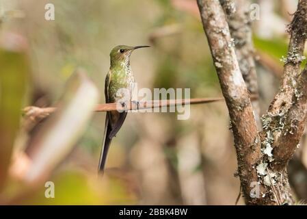 Espécimen femenino de carrilero de cola negra, lesbia victoriae, un colibrí verde de cola larga, encaramado en una rama. La Calera, Cundinamarca Foto de stock