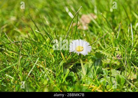 Una sola margarita común Bellis perennis flor contra una gota posterior de hierba en un césped