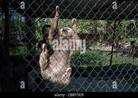 Sloth (Choloepus hoffmanni), de dos dedos de Hoffmann, en una jaula en el oeste de Panamá