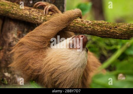 Sloth de dos dedos (Choloepus hoffmanni) subiendo en una sucursal en el Centro de Rescate Jaguar en Puerto Viejo de Talamanca en la provincia de Limón, Costa Rica.