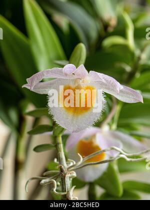Un primer plano de la delicada lavanda naranja pálido de garganta flor de Dendrobium loddigesii