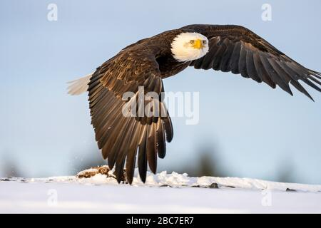 Águila calva (Haliaeetus leucocephalus) en Homer, Alaska