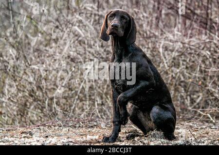 Un retrato de un cachorro alemán de puntero Shortaireado con bokeh del bosque detrás