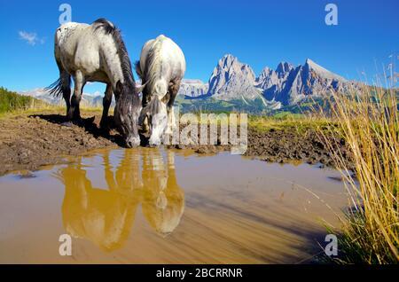 Dos caballos de agua potable en el famoso prado Alpe di Siusi. Hermoso paisaje con majestuosas colinas de fondo. Seiser Alm, Italia