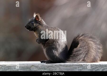 Ardillas negras y grises