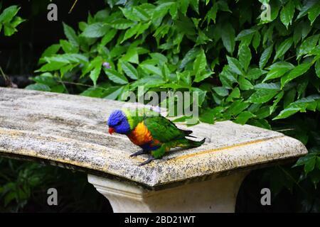 Un salvaje Lorikeet arco iris en un asiento de piedra