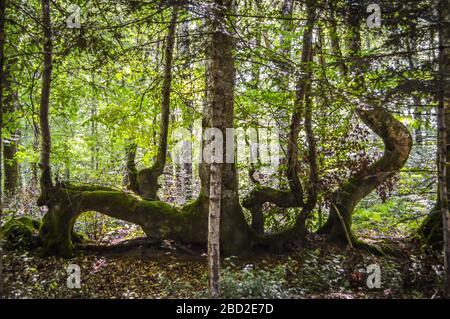 Árboles de forma extraña en el bosque, Corrèze, Francia.