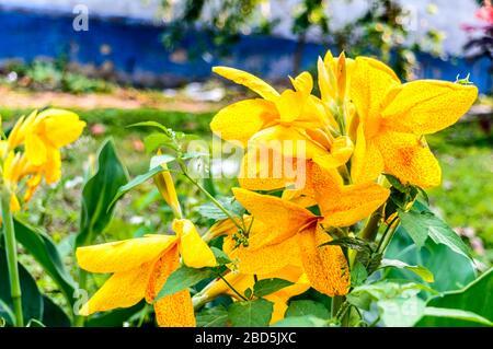 Mellow Yellow Color Calla Lily Arum-Lily, herbácea perenne Daisy plantas en flor en verano. Flores aromáticas de color amarillo limón en los extremos o