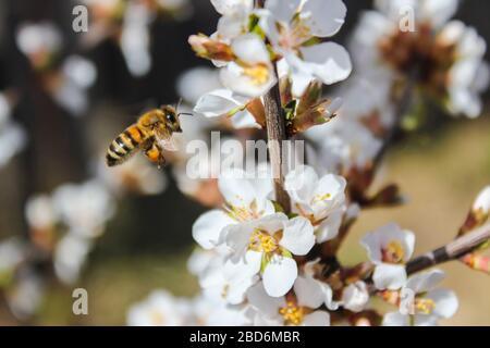 La abeja vuela, recoge miel en las flores de cerezo