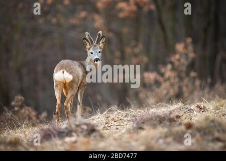 Hombre atento de ciervo mostrando su grupa blanca en el campo de hierba seca