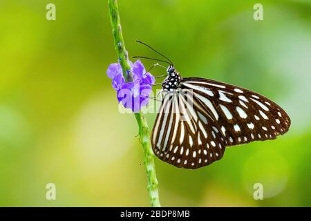 Mariposa azul de tigre de Glassy -Ideopsis vulgaris, hermosa mariposa grande de los prados y bosques de Asia oriental, Malasia.