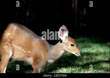 Bushbuck (Tragelaphus scriptus), Parque Nacional Kruger, Transvaal, Sudáfrica
