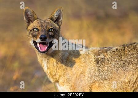 Foto de primer plano del chacal indio (Canis aureus indicus), India