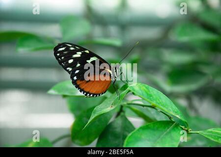 Hermosa mariposa roja-negra en una rama verde