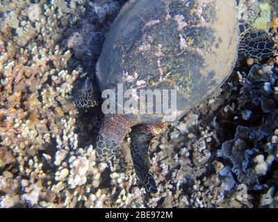 Una foto submarina de una tortuga marina. Las tortugas marinas, a veces llamadas tortugas marinas, son reptiles del orden Testudines y del suborden Cryoptodi