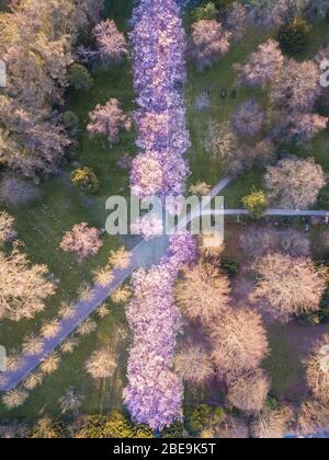 Los cerezos florecen en cementerio Bispebjerg, Dinamarca