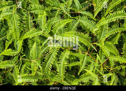Cierre de plantas de helechos en la ruta Pihea, Parque Estatal Koke'e, Kauai, Hawaii, Estados Unidos.