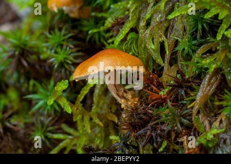Setas en otoño colores Cystoderma sp