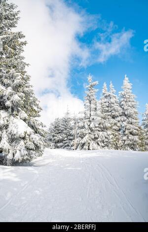 Majestuosos árboles de brucas blancas brillando por la luz del sol contra el cielo azul oscuro. Magnífica escena invernal. Lugar lugar república Checa, Krkonose.