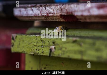 Abeja melífera Carniolan sentada a la entrada de la colmena de abejas