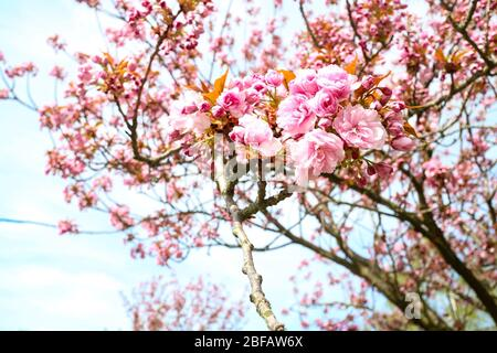 Cierre de la cereza (Sakura) en un cerezo japonés (Prunus serrulata). En la cultura japonesa, la flor de la primavera se celebra como Hanami.