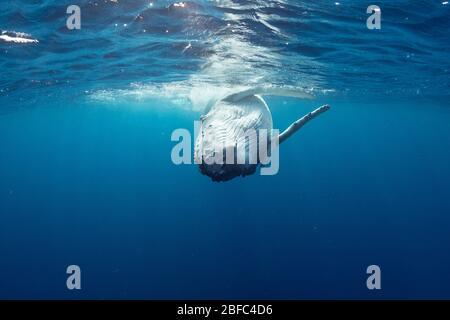 Juguetón becerro de ballena jorobada, Megaptera novaeangliae, rodando en la superficie, con peces remora comensales frente a la aleta pectoral derecha, Vava'u, Tonga