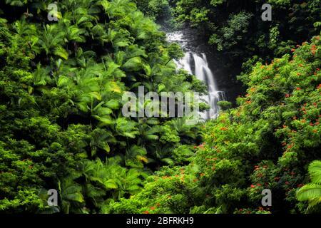 La cascada estacional fluye entre la densa vegetación de palmeras y tulipanes africanos en flor a lo largo de la costa de Hamakua en la Isla Grande
