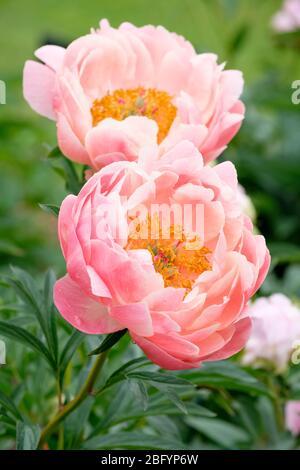 Flores de color rosa coral de Paeonia lactiflora 'Coral Charm', Charm Coral peony Foto de stock
