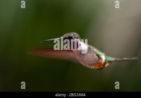 Macho de picícago de garganta rubí, Archilochus colubris, Trochilidia, Reserva del Bosque Nuboso Monteverde, Costa Rica, Centroamérica Foto de stock