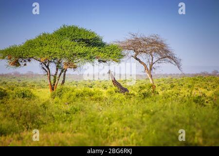 Jirafa de pie en hierba alta en el Parque Nacional Tsavo East, Kenia. Escondiéndose a la sombra bajo los árboles altos. Es una foto de la vida silvestre.