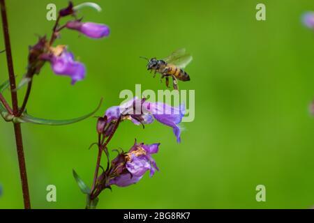Abeja de miel volando sobre un bonito Conefro Púrpura mientras vuela alrededor de un jardín botánico recogiendo polen y polinizando flores en una tarde de primavera