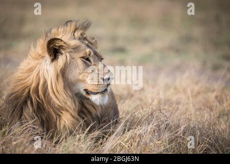 Busanga Plains, un destino exclusivo para safaris en el Parque Nacional de Kafue, en el noroeste de Zambia, es el hogar de un orgullo de los leones africanos, Panthera leo.