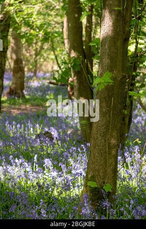 Cerca de arándanos creciendo entre árboles en la naturaleza en Whippendell Woods, Watford, Hertforshire UK.