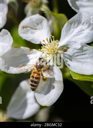 Minibeast: Una abeja de miel occidental, Apis mellifera, recoge néctar y polen de los estambres de un manzano blanco florece en primavera, Surrey