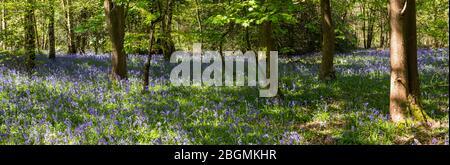 Panorama de los arclos que crecen en la naturaleza en el suelo del bosque en Whippendell Woods, Watford, Hertforshire UK.