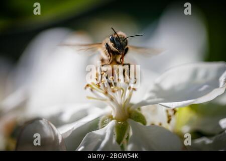 Minibeast: Una abeja de miel, Apis mellifera, proboscis extendido, recogiendo néctar y polen tierras en los estambres de flor de manzana blanca en primavera, Surrey