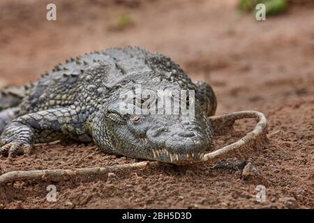 El cocodrilo del Nilo (Crocodylus niloticus), Chobe River, el Parque Nacional Chobe, Kasane, Botswana, África