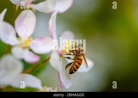 Minibeast: Una abeja melífera, Apis mellifera, recogiendo néctar y polen de los estambres de flor de manzano blanco en primavera, Surrey