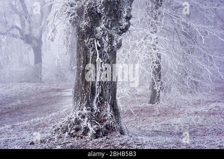 Europa, Alemania, Hesse, parque natural Lahn-Dill-Bergland, Hohensolms, limos y castaños en el hielo del castillo