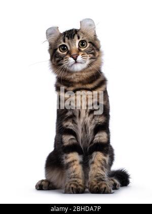 Adorable gato de gato de cul americano con tabby negro, sentado frente al frente. Mirando la cámara con ojos amarillos y la inclinación de la cabeza linda. Aislado sobre blanco
