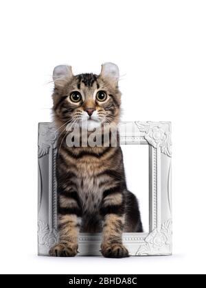 Adorable gato de gato de cul americano abadado negro, parado a través de marco de fotos blanco. Mirando al lado de la cámara con ojos amarillos. Aislado sobre blanco