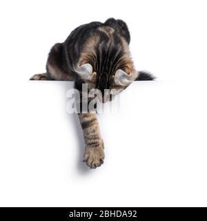 Adorable gato de gato de cul americano abadado negro, colgando frente sobre borde mostrando orejas. Aislado sobre fondo blanco.
