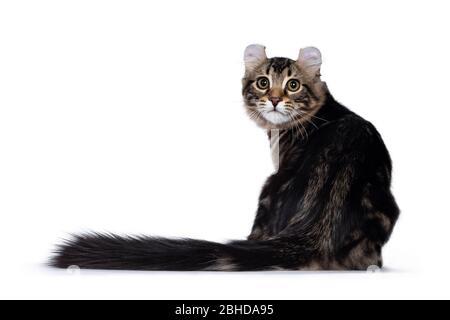 Adorable gato de gato de cuajada americana, sentado al revés. Mirando sobre el hombro a la cámara con ojos amarillos. Aislado en negro blanco
