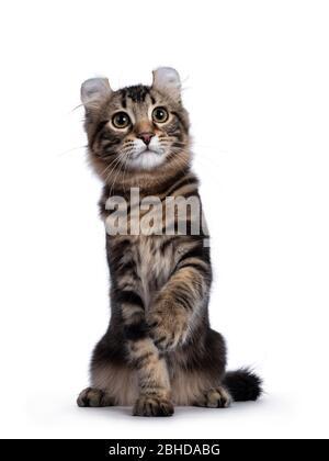 Adorable gato de gato de cul americano con tabby negro, sentado frente al frente. Mirando al lado de la cámara con ojos amarillos y paw juguetón en el aire. Aislado