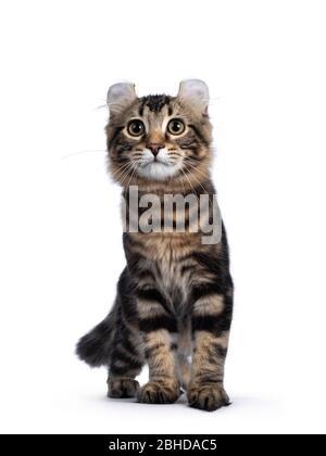 Adorable tabby negro blotched gato de Curl americano gatito, caminando hacia la cámara. Mirando al lado de la cámara con ojos amarillos. Aislado sobre fondo blanco.