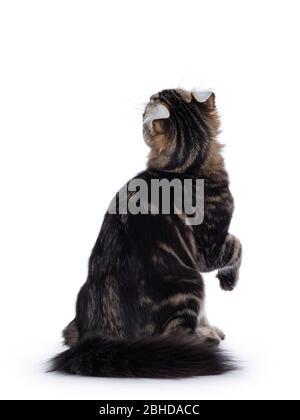 Adorable gato de gato de cuajada americana, sentado al revés. Mirando hacia arriba mostrando oídos. Aislado sobre fondo blanco.